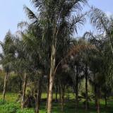 皇后葵生产基地 漳州皇后葵大树种植基地
