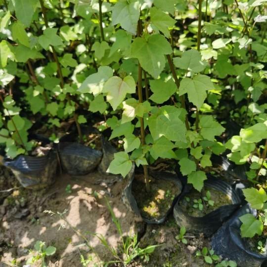 枫香树苗多少钱一棵 80公分-1米枫香树苗价格