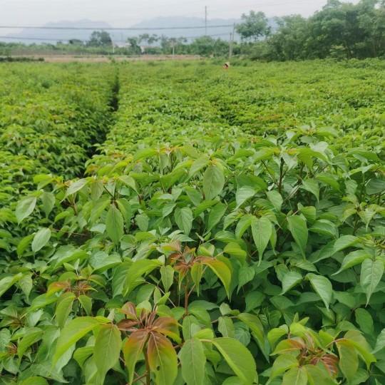 江西重阳木小苗基地 1-2公分重阳木小苗价格