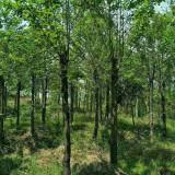 喜树哪里有 江西4-5-8公分喜树批发价格