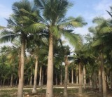 国王椰子价格  福建大王椰子基地