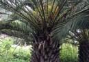 福建花八叶鸭脚木鹅掌材高35公分