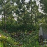 湿地松批发 15公分湿地松价格