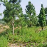 江西湿地松价格 8-10-12公分湿地松批发