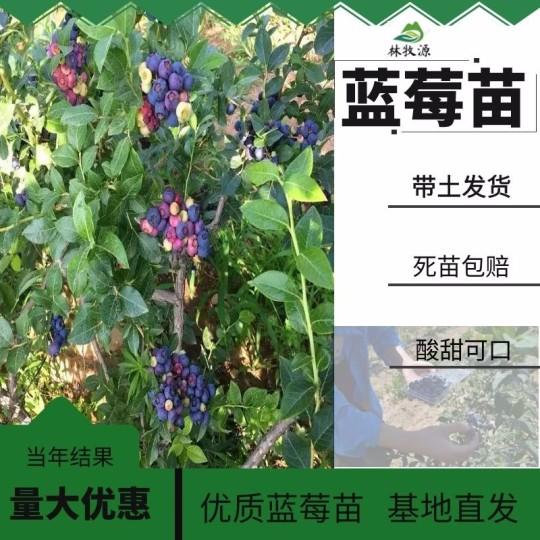 1-5年薄雾蓝莓苗基地批发