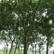 滁州精品朴树 米径15公分精品朴树价格