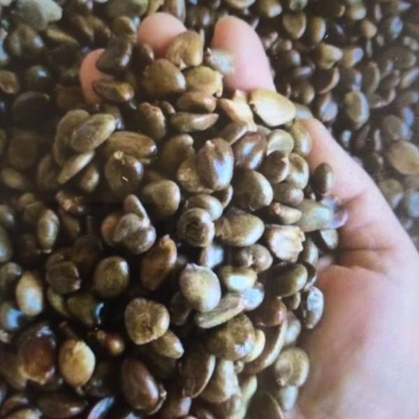 布福娜黑老虎供应 黑老虎种子价格