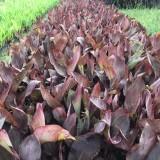 哪里有美人蕉卖 福建紫叶美人蕉基地批发价格
