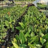 25公分高花叶美人蕉价格 福建花叶美人蕉袋苗价格