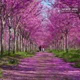 红花大乔木 '四季春1号'紫荆树