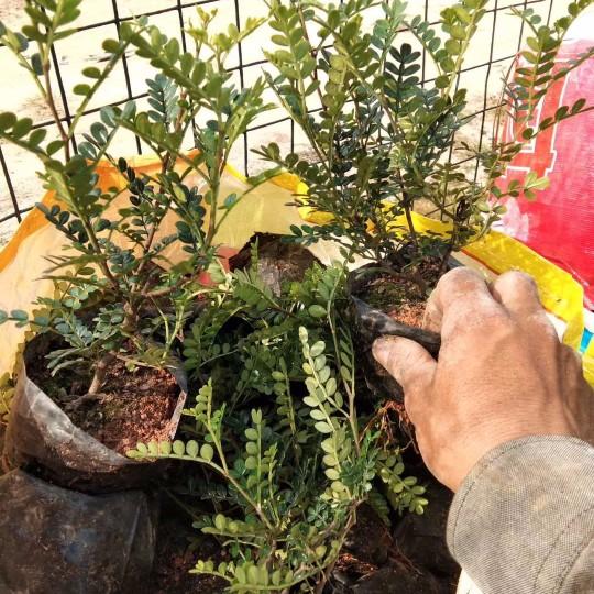 胡椒木大袋苗多少钱一棵 福建胡椒木供应商报价