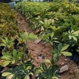 澳洲鸭脚木价格 福建鸭脚木基地批发价格