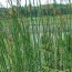 花叶水葱袋苗价格 水葱袋苗出售批发报价