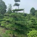 川派造型罗汉松 精品罗汉松造型树