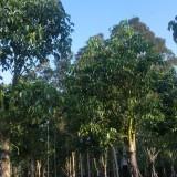 秋枫树12公分价格 12至15公分秋枫树价格