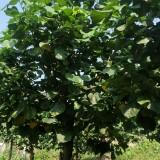 黄槿树价格 10到15公分黄槿树价格