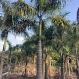 福建7米高大王椰子价格 8米高大王椰子多少钱一棵