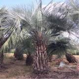 布迪椰子种植  布迪椰子基地批发价