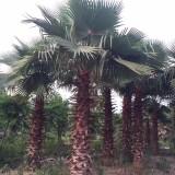 浙江华盛顿棕榈价格 华盛顿椰子批发 华盛顿葵供应