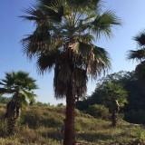 贵州华盛顿棕榈价格 江苏华盛顿椰子批发 四川华盛顿葵供应