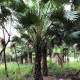 3米高蒲葵多少钱一棵 4米高蒲葵树批发价格
