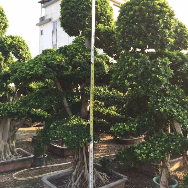 70公分造型榕树桩景价格 80公分榕树盆景基地批发