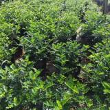 清香木苗出售 2公分清香木袋苗价格