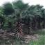 华盛顿棕榈 3米高老人葵产地价格 老人葵批发报价表