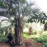 布迪椰子价格 福建布迪椰子基地批发