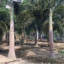 狐尾椰子树基地 福建狐尾椰子树苗批发