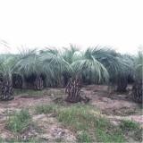 布迪椰子树苗价格 基地布迪椰子树批发报价