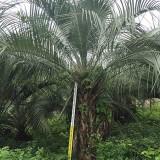 漳州布迪椰子树苗报价 5米6米布迪椰子价格