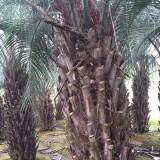3米高布迪椰子价格 3.5米高布迪椰子树出售
