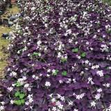 红花酢浆草价格 三角紫叶酢浆草杯苗批发