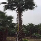 3米高老人葵价格 4米高老人葵多少钱一棵
