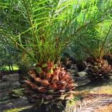 3米高加拿利海枣价格 3.5米高加拿利海枣树出售