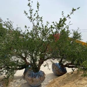 3米花石榴树批发 陕西周至花石榴树价格