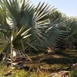 霸王棕市场价格 3米4米霸王棕树苗多少钱一棵