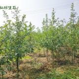 娜塔栎小苗价格 江苏1~2~3公分娜塔栎小苗批发