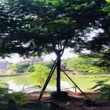 凤凰木树价格 米径12公分凤凰木基地批发报价
