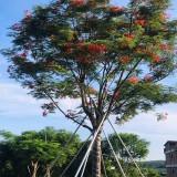 10公分11公分凤凰木树苗多少钱一棵 福建凤凰木价格