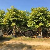 富贵榕种植注意事项  富贵榕树价格表
