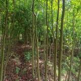 杜英基地批发 杜英树多少钱一棵