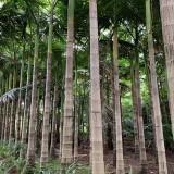 假槟榔树价格查询 福建3米4米高假槟榔多少钱一棵