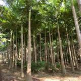 杆高5米假槟榔价格 杆高6米假槟榔树出售价格