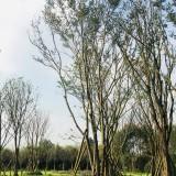 供应优质黄连木-成都苗木基地-郫都区名川园艺场