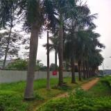 大王椰子树价格 批发 福建大王椰子基地批发
