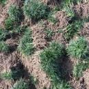 日本矮麦冬草坪 60公分矮麦冬草坪价格 江苏基地批发
