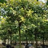 地径18公分富贵榕价格 19公分富贵榕多少钱一棵