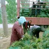 山东麦冬草价格 批发 绿化麦冬草基地